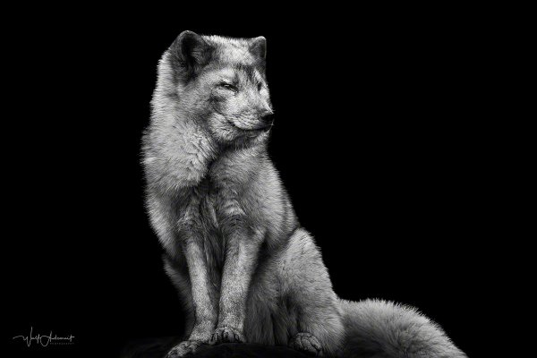 180219-00212-ice_fox_portrait   Wolf Ademeit